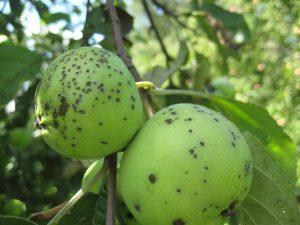 Парша на яблонях и грушах