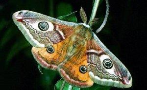 Аттрактанты насекомых