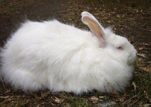 Кролик породы белый пуховый