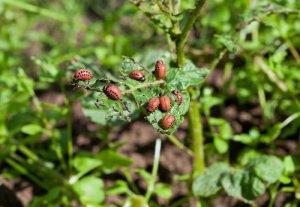 Битоксибациллин от колорадского жука