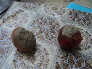 Сухая гниль корнеплодов