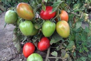 Сорт томатов буян