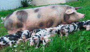 Свиньи черно-пестрой породы