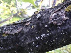 Черный рак на дереве