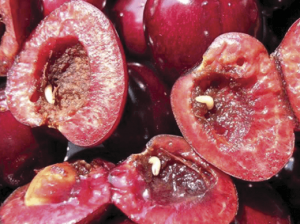Личинки вишневои мухы