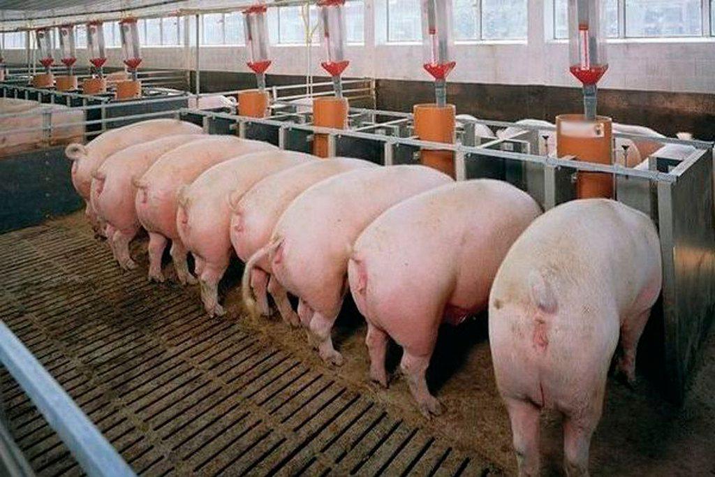 Станки для свиней, выращиваемых по датской технологии