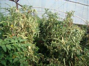 Дефекты листьев томатов