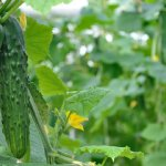 Выращивание огурцов: правильный выбор сортов, посадка и уход
