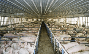 Ферма разведения свиней