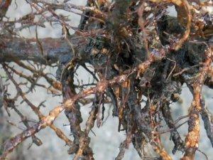 Филлоксера корня винограда