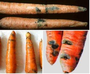 Фомоз моркви