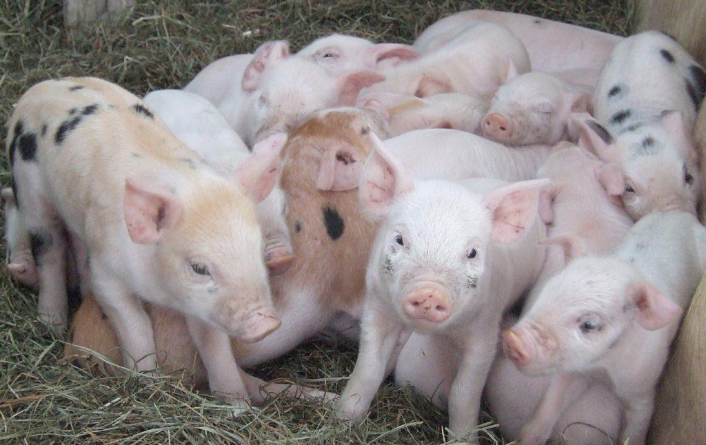 Основные селекционируемые признаки свиней
