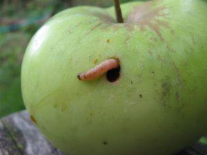 Яблонная плодожорка в яблоку
