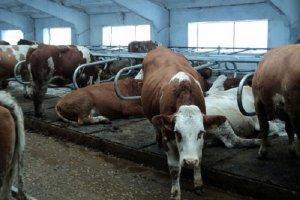 Хлев для содержания коров
