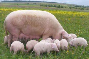 Свинья с поросятами на пастбище