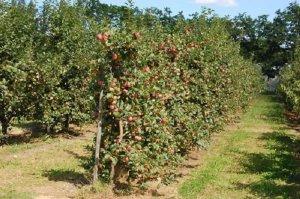 Агротехнические мероприятия в борьбе с вредителями и болезнями сада