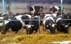 Кормления коров в домашних условиях