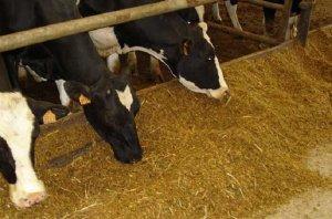 Кормление коров комбикормами