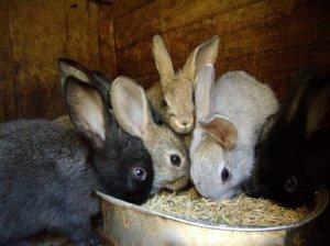Кормления кроликов питательными кормами
