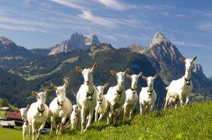 Козы - мелкий рогатый скот