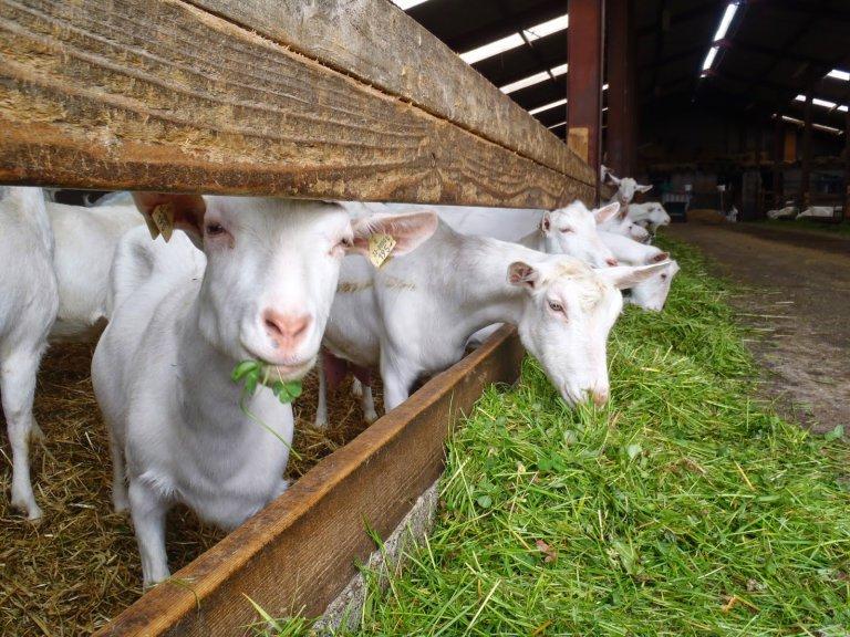 Разведение коз: основные виды и особенности бизнеса - Cельхозпортал