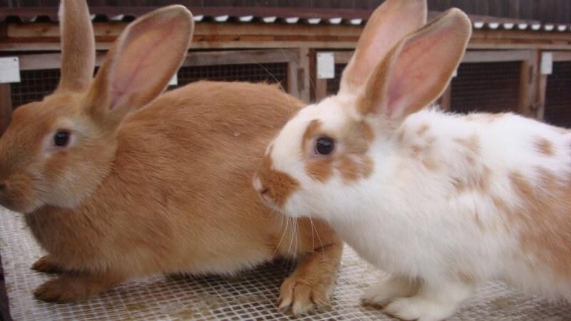 Кролики: разведение и содержание в домашних условиях