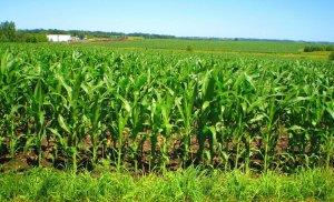 Выращивание кукурузы: особенности посадки и ухода