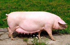 Взрослая свинья мясной породы