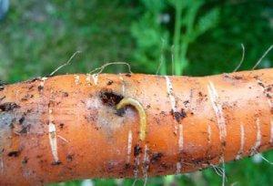 Личинки мухи в моркве