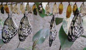 Бабочки и их личинки