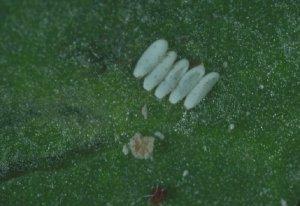 Личинки свекловичной минирующой мухи