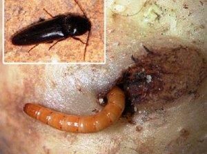 Личинки жуков щелкунов