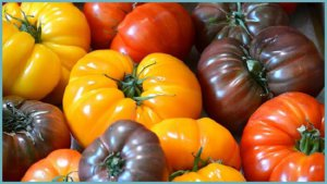 Сорта томатов разного цвета для теплиц из поликарбоната