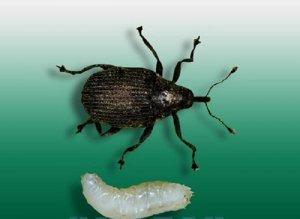 Личинка лукового скрытнохоботника