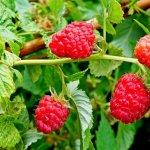 Вредители и болезни малины: особенности борьбы