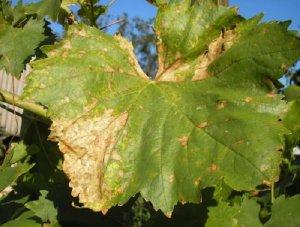 Ложная мучнистая роса винограда