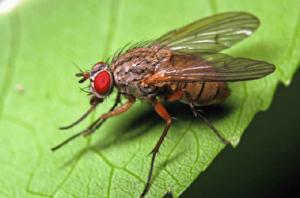 Луковая минирующая муха