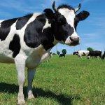 Молочное животноводство: породы и особливосты содержания