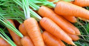 Вредители и болезни моркови и других зонтичных культур