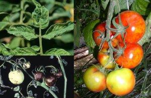 Мозаика помидоров