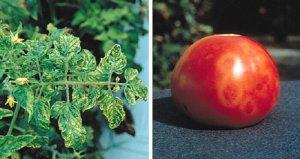 Табачная мозаика у томатов