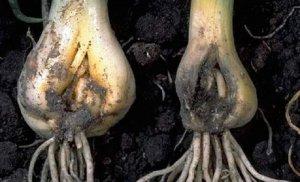 Луковицы пораженные нематодой