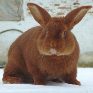 Порода кролика новозеландская красная