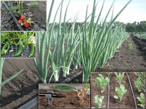 Особенности капельного полива различных видов культур на огороде