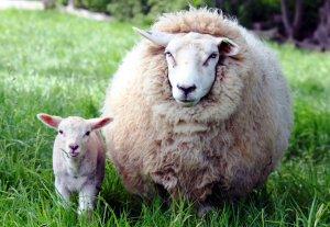 Овца шерстяной породы с ягненком