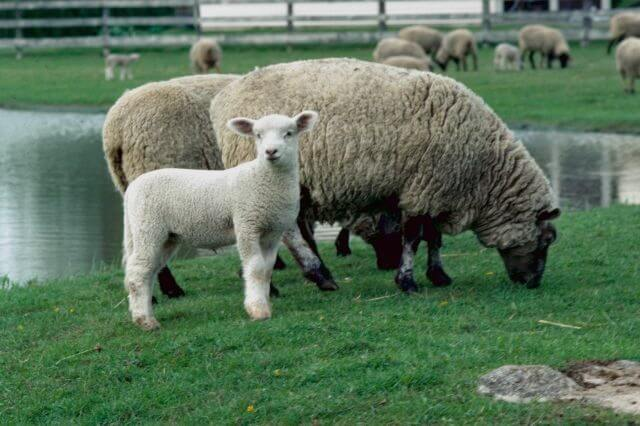 Овцы с ягненком на пастбище у реки