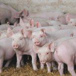 Методы оценки конституции и адаптации свиней