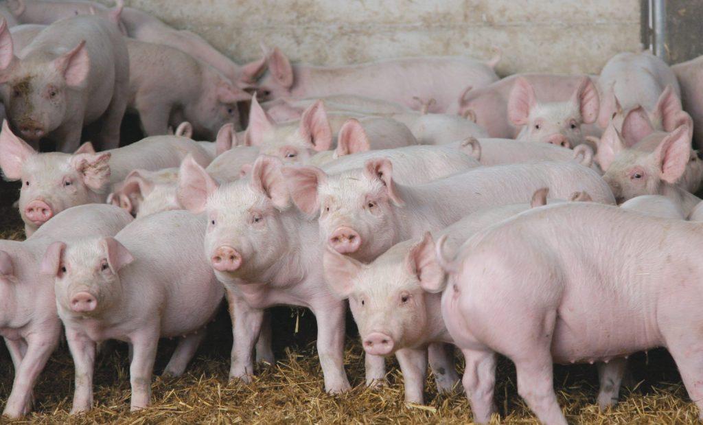 Методы оценки конституции и адаптаци свиньи