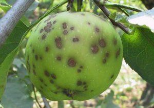 Плоды яблони, пораженные паршой