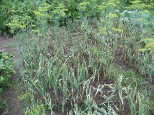 Пероноспороз - болезни лука и чеснока